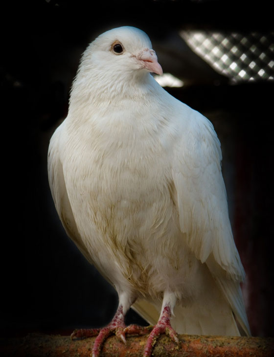 White Carrier Pigeon Looking Regal