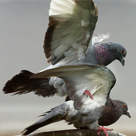 Pigeons doing it.